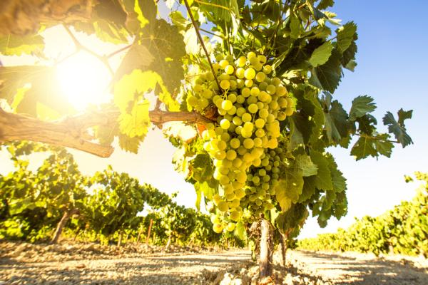 24 climbing plants - Vine or grapevine, one of the most famous climbing plants