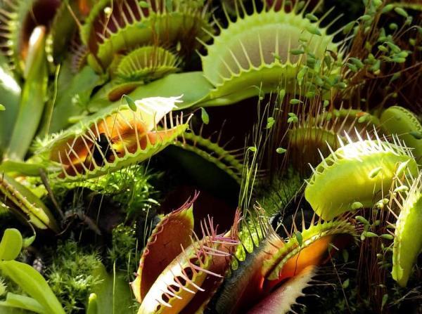Venus flytrap care - Characteristics of the Venus flytrap