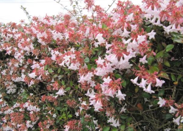 Abelia grandiflora: care - Characteristics of the Abelia grandiflora