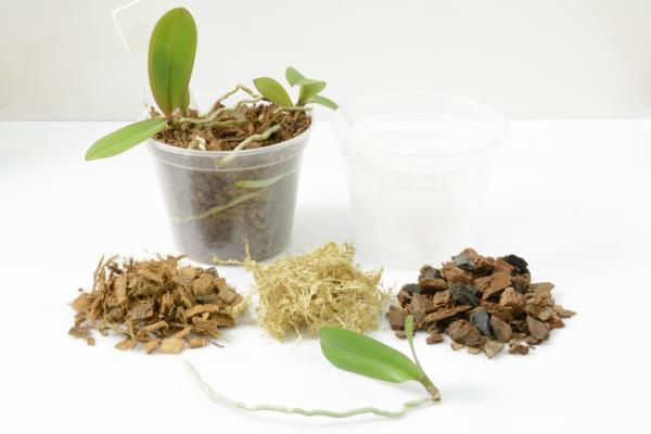Reproduce orchids: how to do it - How to reproduce orchids by bulbs step by step