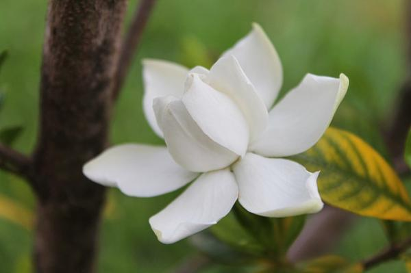 Gardenia Care - When Gardenias Bloom and How to Make Them Bloom
