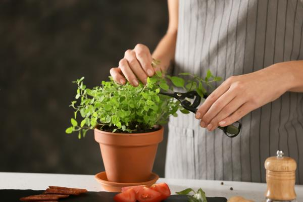 Oregano plant: care and what it is for - What is the oregano plant like - characteristics
