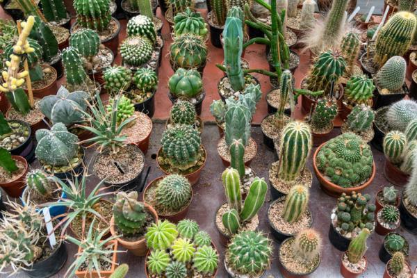 Cactus Care - Cactus Characteristics