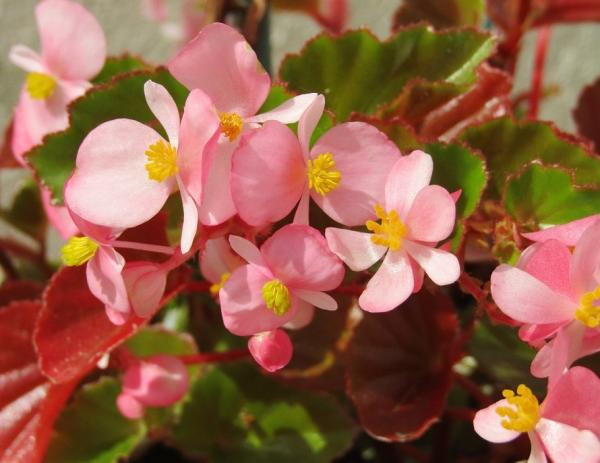 22 spring flowers - Begonia, one of the spring flowers to have at home