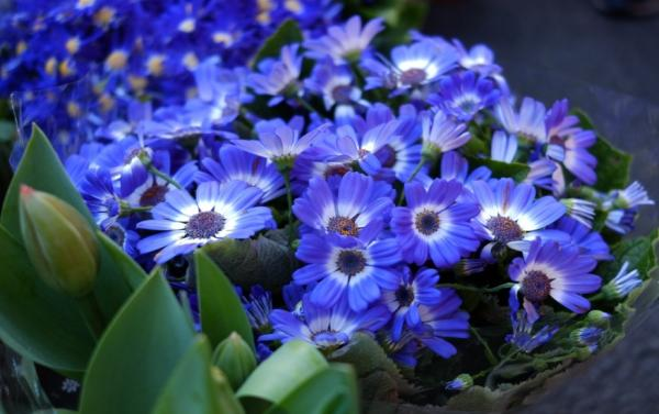 22 spring flowers - Cineraria