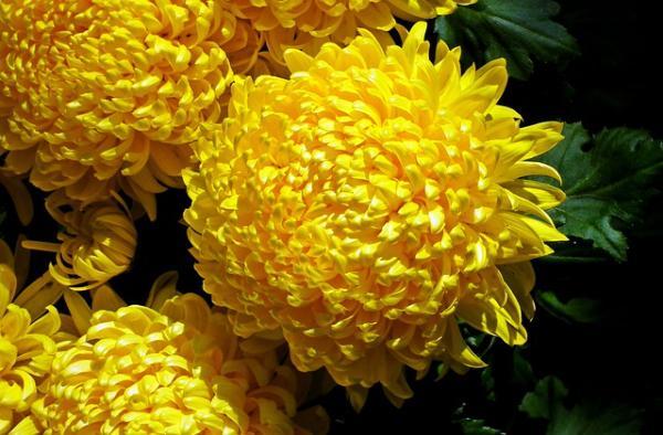 +20 plants with yellow flowers - Yellow chrysanthemum