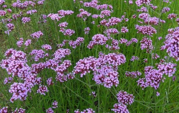 22 spring flowers - Verbena