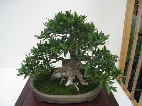 Bonsai ficus benjamina: care - Bonsai ficus benjamina: indoor or outdoor?