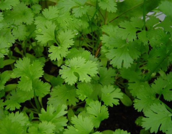 Aromatic indoor plants - Coriander