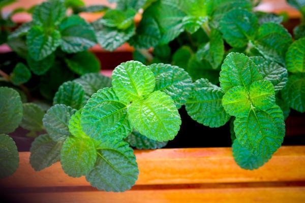 Aromatic indoor plants - Mint