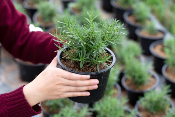 Aromatic indoor plants - Rosemary