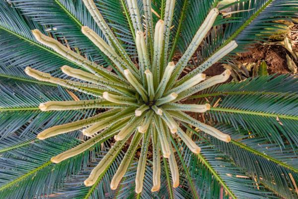 Indoor palm trees: names, characteristics, care and photos - Archontophoenix alexandrae or Alejandra palm