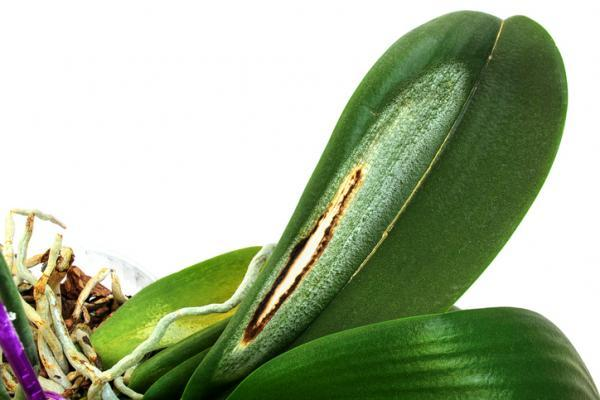 How to revive an orchid - How to revive a dried orchid