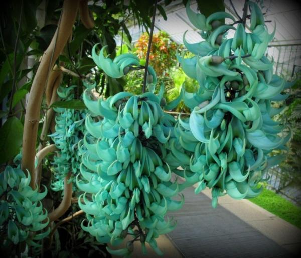 Names of the most exotic flowers in the world - Jade flower