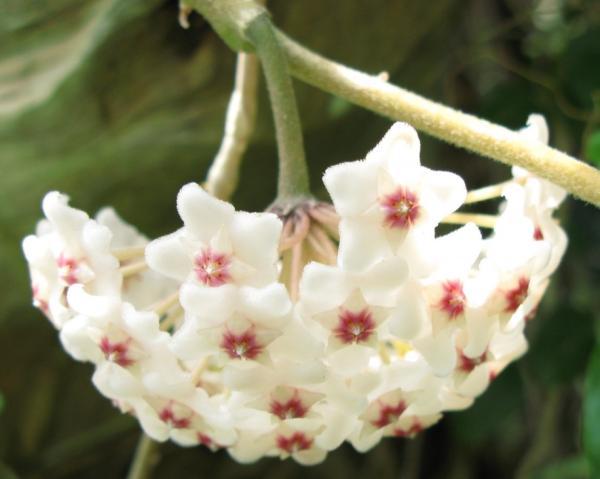 29 indoor hanging plants - Hoya linearis
