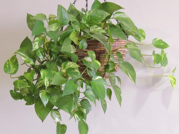 29 indoor hanging plants - Pothus, one of the most popular hanging plants