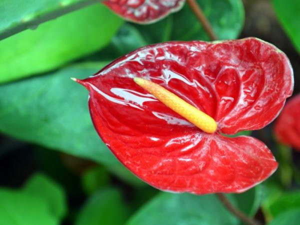 +25 indoor plants that need little light - Red Anthurium