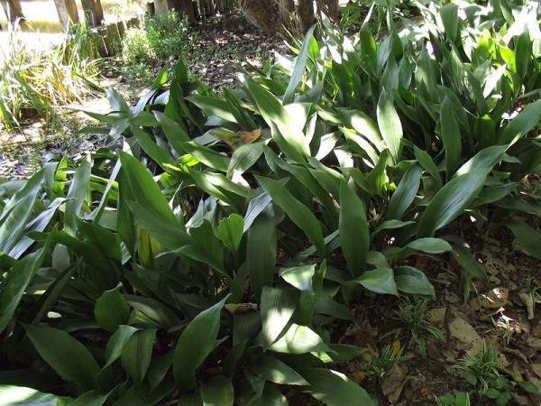 +25 indoor plants that need little light - Aspidistra