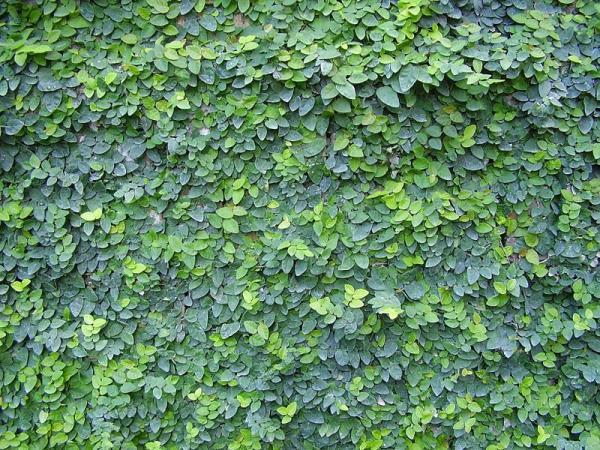 +25 indoor plants that need little light - Ficus pumila
