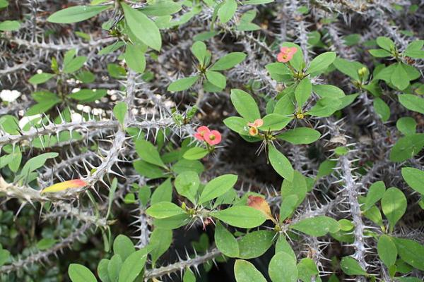 Crown of Christ: care - Climate for the crown of thorns plant