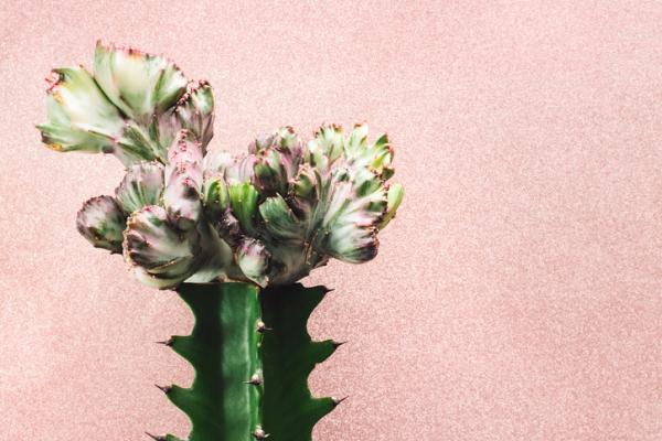 Types of cactus: names and care - Euphorbia lactea, candelabra plant or cardón