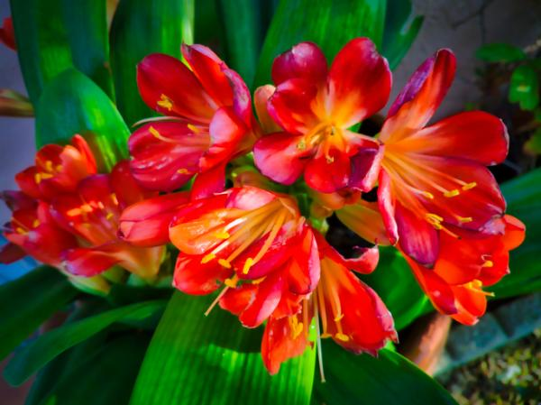 Clive care - Soil, substrate and transplant of clivias