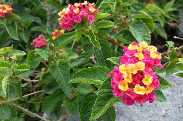 21 flowering shrubs - Spanish flag or lantana