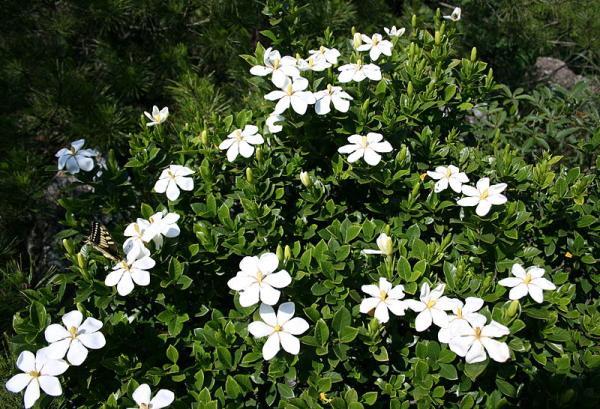 21 flowering shrubs - Cape Jasmine