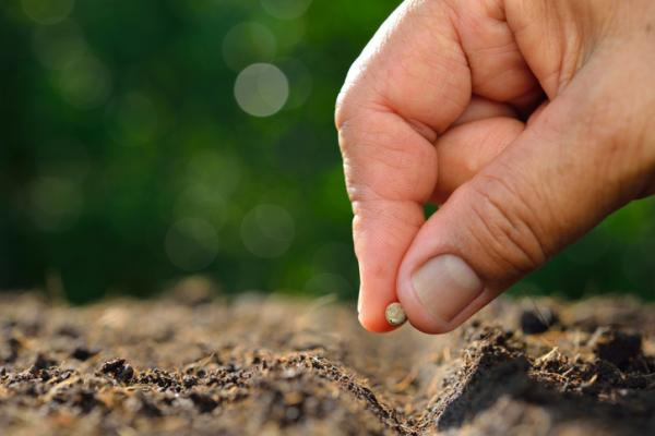 Planting beets: when and how to do it - How to plant beets