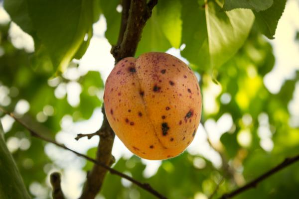 Peach tree diseases - Xanthomona arboricola pv pruni or black spot