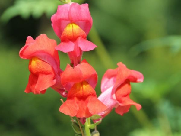 16 garden plants with sun resistant flowers - snapdragons or bunnies