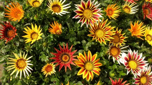 16 garden plants with sun resistant flowers - Gazania