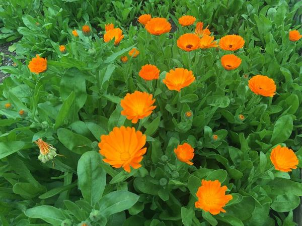 Calendula plant: care and what it is for - Characteristics of the calendula plant