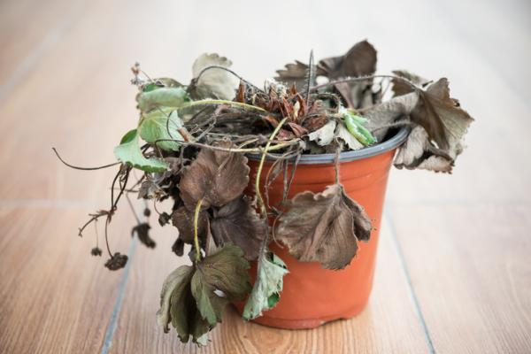 How to revive a plant - Tips to recover a dry plant