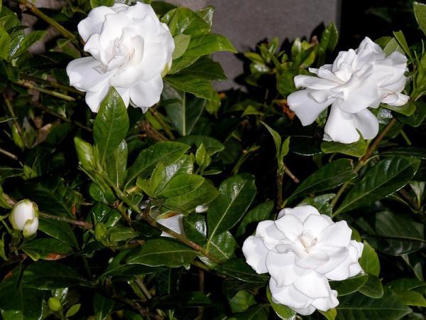 9 types of jasmine - Gardenia jasminoide or Cape jasmine