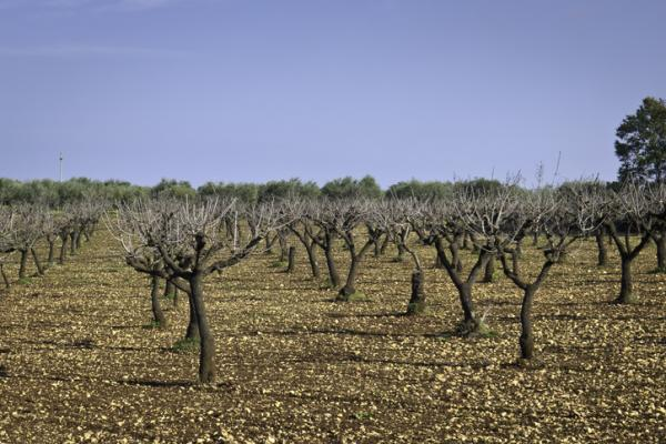 Prune Almond Trees: When and How to Do It - How to Prune Abandoned or Old Almond Trees