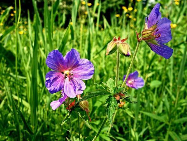23 types of geraniums - Geranium dolomiticum L.