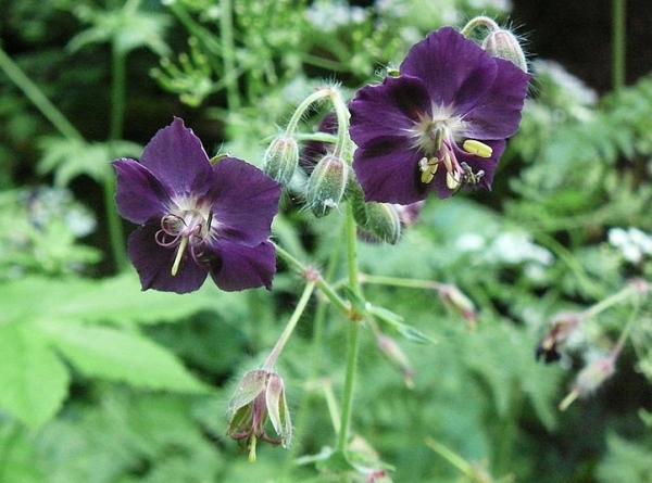 23 types of geraniums - Geranium phaeum L., one of the types of geraniums with curious flowers