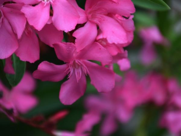 What are the most poisonous plants in the world - Oleander, the most poisonous plant in the world