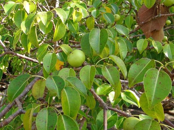What are the most poisonous plants in the world - Manzanillo de la Muerte