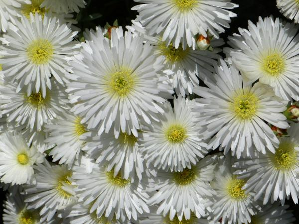 Sunray plant or Lampranthus: care - How is the sunray plant or Lampranthus