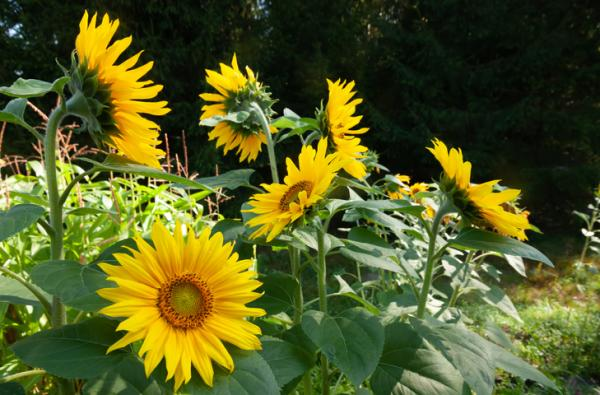 How to Care for Sunflowers - Location for Sunflowers