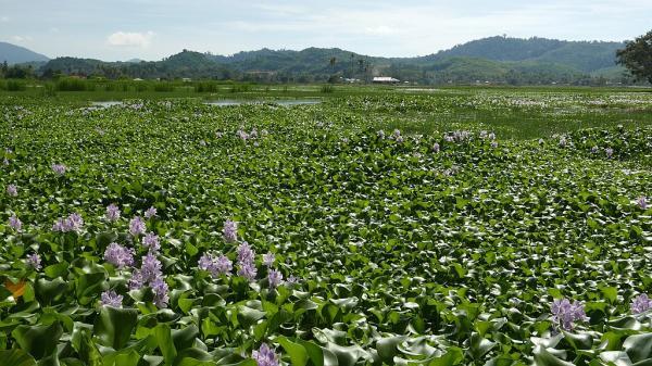 Camalote: A Very Invasive Plant - How Camalotes Reproduce