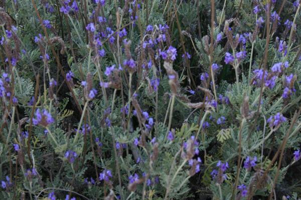 12 types of lavender - Lavandula multifida