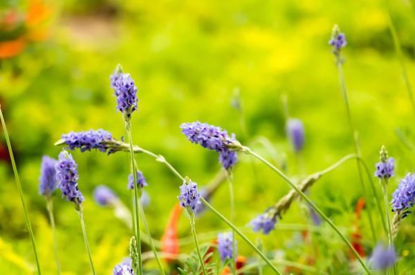 12 types of lavender - Lavandula pinnata