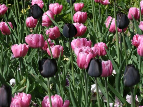 Types of tulips - Queen of the night