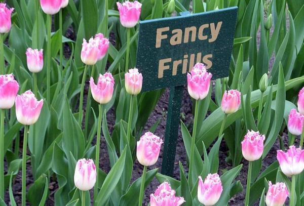 Types of Tulips - Tulip Fancy Frills
