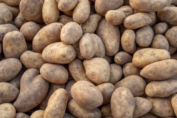 Types of potatoes - Kennebec or Galician potato