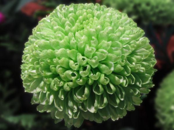 15 Green Flowers - Chrysanthemum or Green Flowering Chrysanthemum