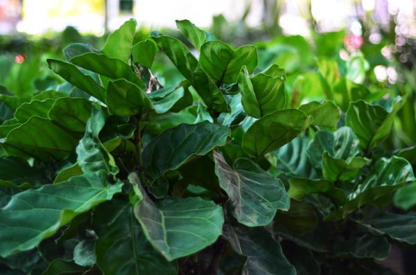 Ficus lyrata: care - Light and temperature